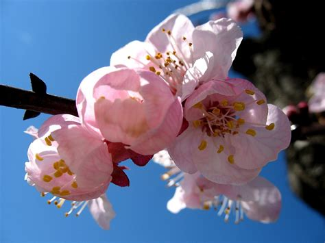 fiori albicocco archive fiori4