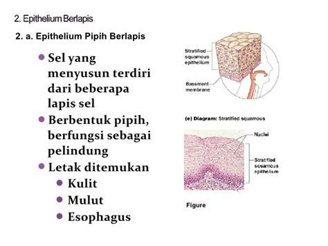 Kubus Kulit 2 jaringan epitelium