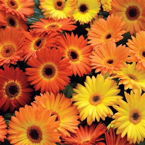 fiori gerbere gerbera gerbera gerbera perenni gerbera gerbera