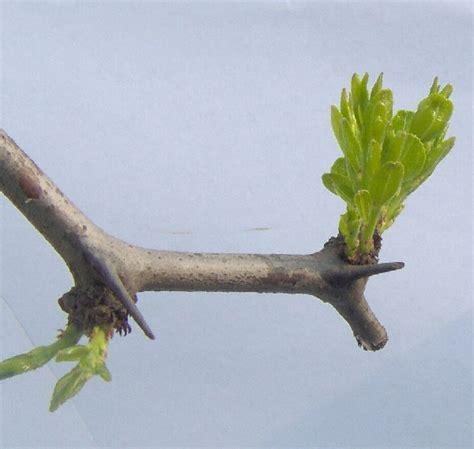 fior di giuggiola alberi da frutto giuggiolo
