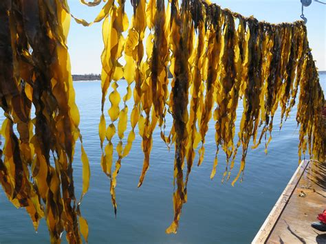 The In The Kelp kelp farming promises economic and ecological benefits wcai