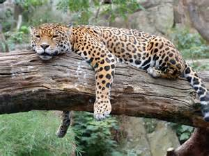 Jaguar In A Tree Jaguar Sleeping In A Tree Www Imgkid The Image Kid