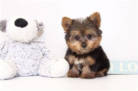 yorkie puppies for sale naples fl 25 best ideas about terrier for sale on teacup terrier yorkie