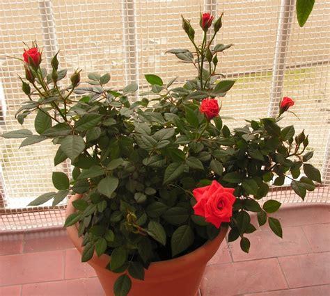 come curare le roselline in vaso