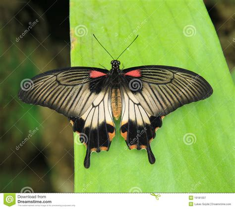 imagenes mariposas exoticas mariposa ex 243 tica fotograf 237 a de archivo libre de regal 237 as