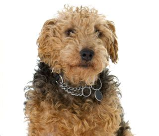 curly haired breeds small brown curly haired breeds breed dogs spinningpetsyarn