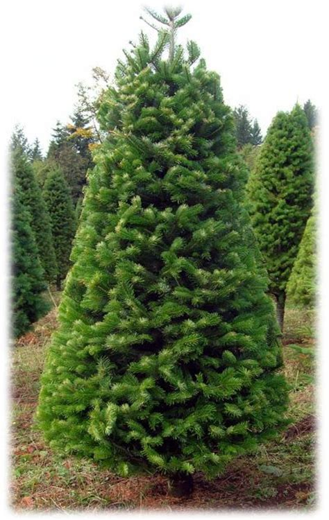 most popular type of real christmas tree types of trees tree types different types trees
