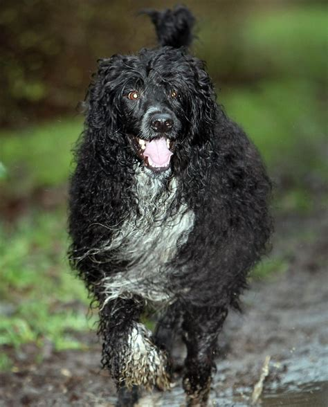 dogs that like water non shedding breeds buzzle non shedding breeds non breeds picture