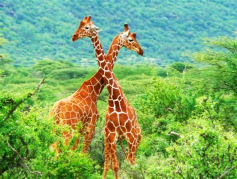 imagenes i love kenia kenia reisen kenia safari bei aquaterra travel