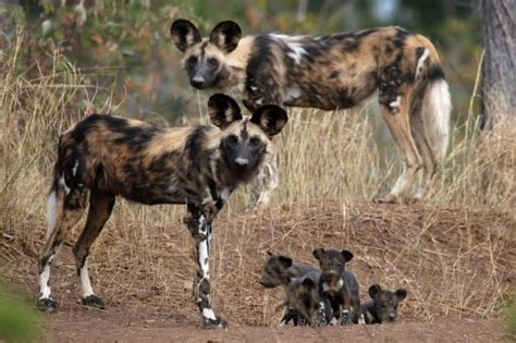 feral dogs pictures diet cycle facts habitat behavior