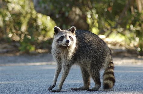 raccoon images raccoon pictures photo gallery with images of raccoons