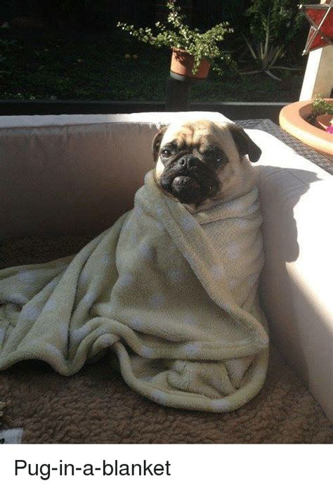 pug blankets 25 best memes about pugs in a blanket pugs in a blanket memes