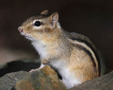 a chipmunk eastern chipmunk naturally curious with
