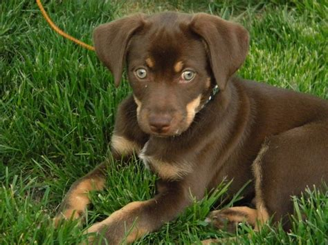lab chihuahua mix puppies chihuahua labrador retriever mix for adoption in pueblo colorado images frompo