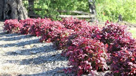 piante nane da giardino nandina nandina domestica nandina domestica piante
