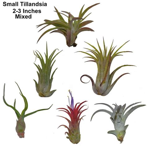 different forms of tillandsia 1000 images about air plants on air plants types of ferns and root system