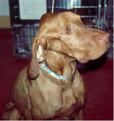 polymyositis in dogs polymyositis in dogs www pixshark images galleries with a bite