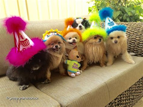 pomeranian birthday 17 best images about pomeranians on pomeranian teacup pomeranian and