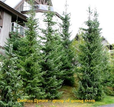 serbian spruce tree serbian spruce