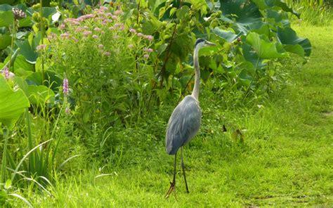 Garden Heron Mlewallpapers Blue Heron In Lotus Garden