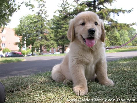 golden retriever puppy care golden retriever puppy photo gallery golden retriever puppy photos golden