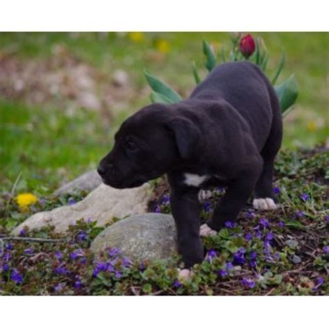 free puppies in saginaw mi all puppies and dogs for sale and adoption in michigan page 2 freedoglistings
