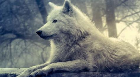imagenes de lobos en 4k o sil 234 ncio dos lobos