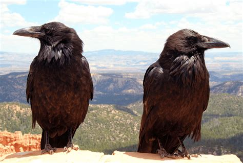 mysterious  european culture  riddle  odins ravens