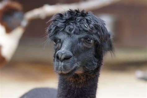 picture portrait black llama wildlife wild animal indoor