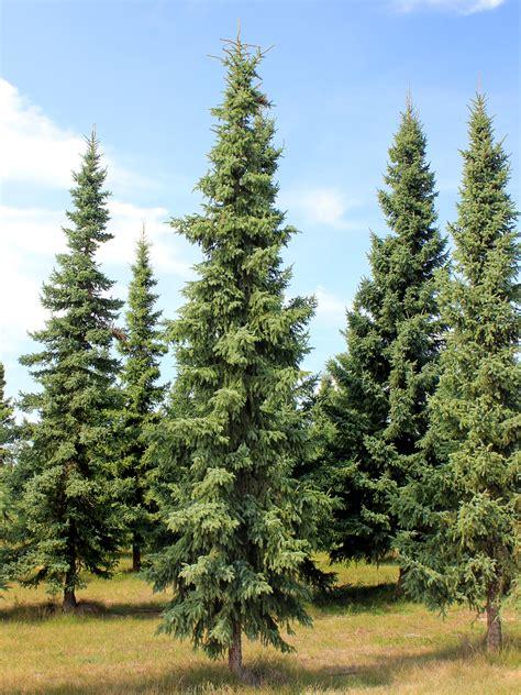 file picea mariana spruce black jpg