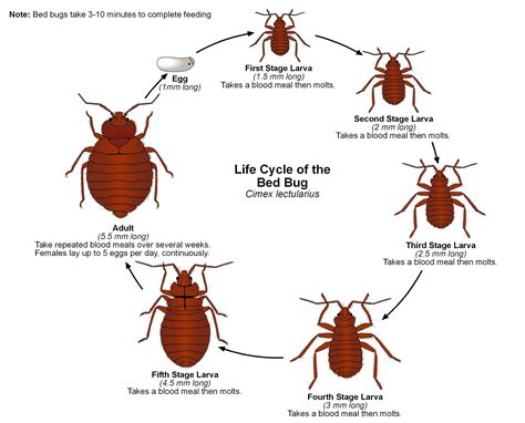 life cycle of bed bugs life cycle of a bed bug a1 exterminators