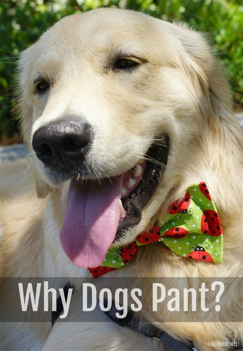 dogs panting 5 reasons why dogs pant golden woofs sugar the golden retriever