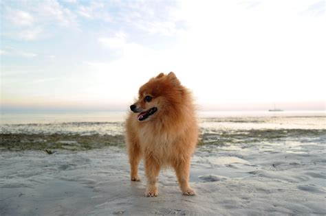 how much should a pomeranian weigh feeding advice for small dogs lovejoys