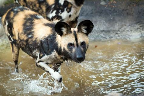 exotic dog houses houston zoo now the new home to exotic dogs from africa houston chronicle