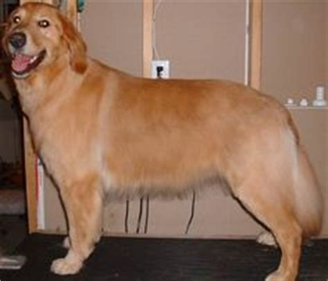 golden retriever haircut golden retriever haircut styles related post are golden retrievers becoming more