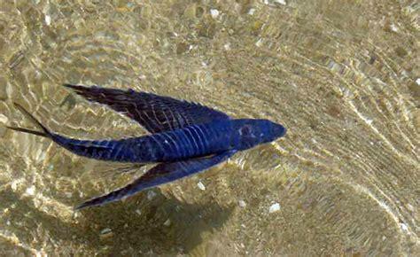 pesci volanti mediterraneo exocoetidae pesci volanti flying fish pesce rondine
