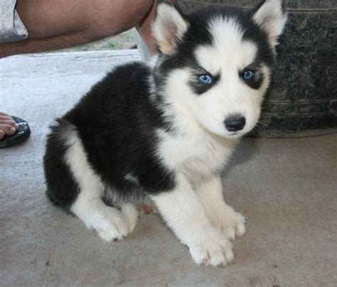 miniature siberian husky puppies for sale mini husky puppies for sale quotes