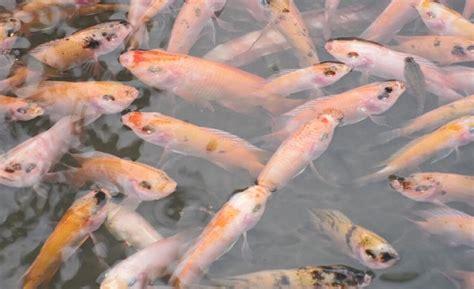 Pakan Ikan Lele Bioflok budidaya ikan nila dengan sistem bioflok kebunbudidaya