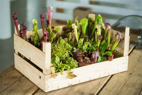 fleischfressende pflanzen kaufen fleischfressende pflanzen fleischfresser paket g 252 nstig