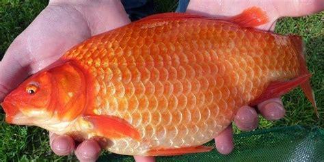 Benih Ikan Nila Ciamis budidaya ikan budidaya ikan