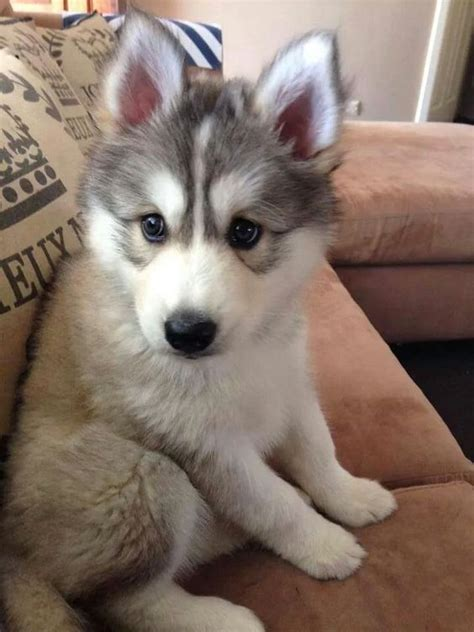 baby husky pin by mcfadyen on puppies husky puppies and puppies