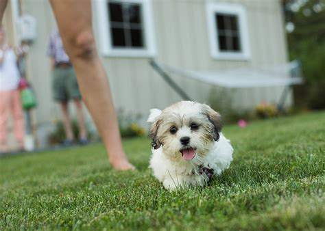 how to your to behave around other dogs shichon