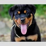 White German Shepherd Lab Mix Puppies | 600 x 488 jpeg 45kB