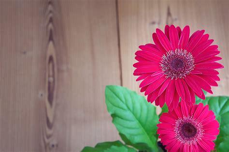 pink sunflower free image peakpx pink sunflower free image peakpx