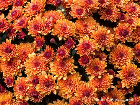 fall flowers top 15 fall blooming flowers for a perennial garden