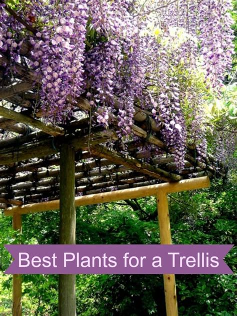 best plants best plants for a trellis
