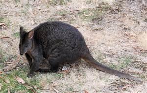 Common Backyard Trees Australian Animals Marsupials Tasmanian Pademelon