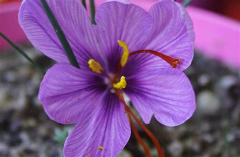 fiore zafferano zafferano purissimo di cascia sito ufficiale dei