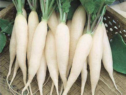 Benih Lobak Putih Isi 50 Benih benih lobak putih ordinary radish