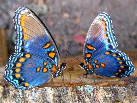 imagenes de mariposas juntas el ba 250 l olvidado mariposas en el estomago